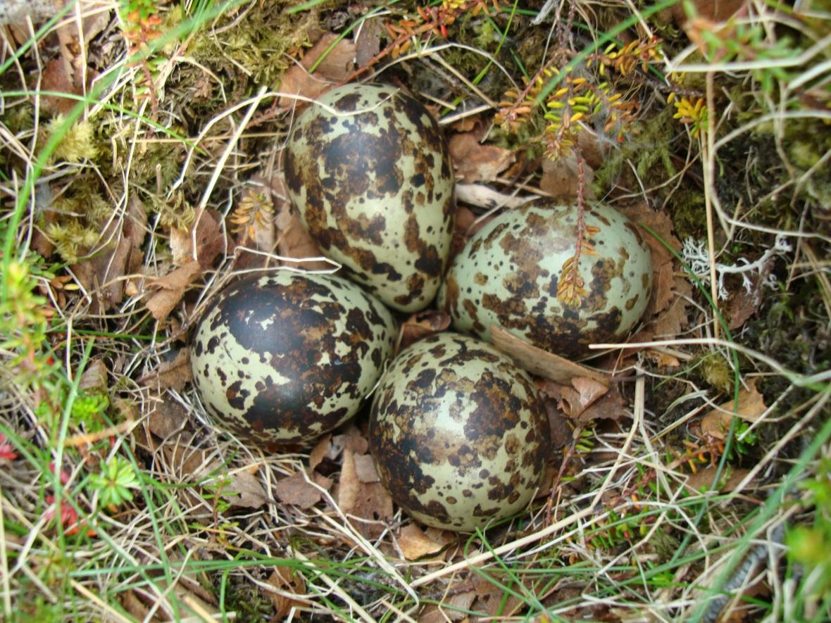 Eggin hennar Lóu