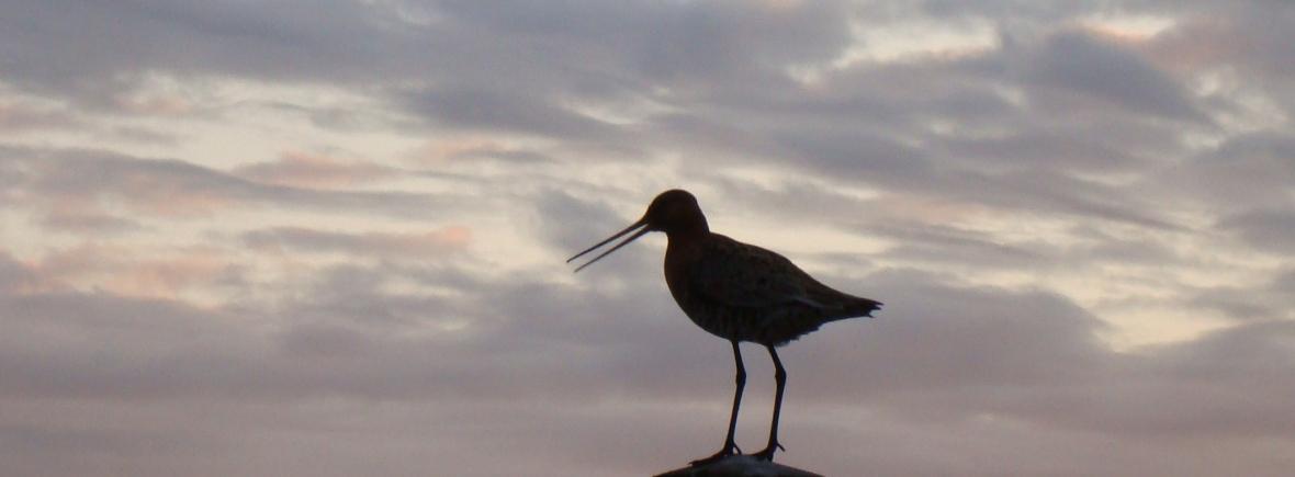 Jaðrakan (fræðiheiti: Limosa limosa) er stór, háfættur og hálslangur vaðfugl af snípuætt. Fuglinn er álíka stór og spói eða um 40 – 44 sm.